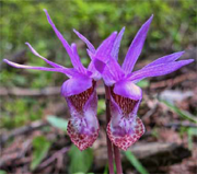 Image of Calypso bulbosa