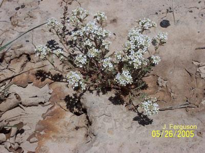 Rare Plant List | Idaho Native Plant Society